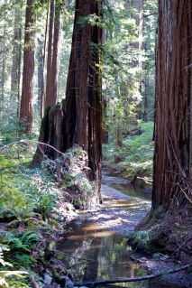 giant trees and creek at Armstrong Redwoods State Natural Reserve
