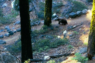 bear walking along hiking trail