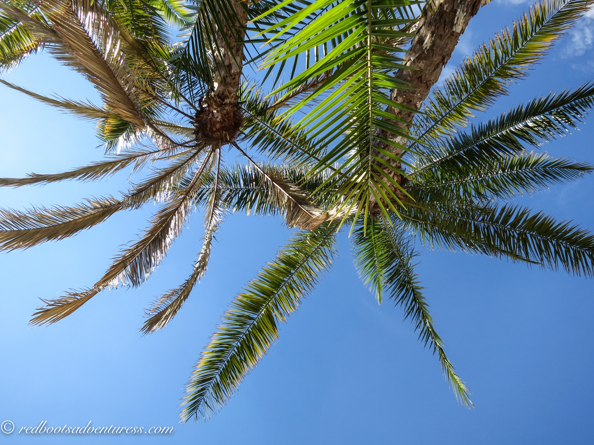 Ground up view of two palm trees