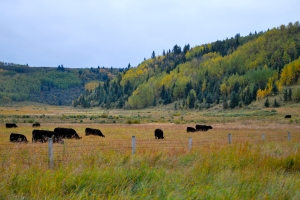 Grassy plains cattle rolling hills