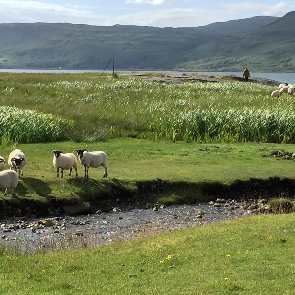 Two groups of sheep grazing in green grass along Loch Na Keal